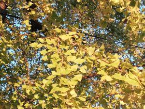 菊池将軍木の前のもみじ、銀杏が見頃です