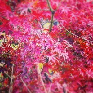 貸し切り風呂のもみじが紅葉しました。菊池渓谷の写真きれいです。
