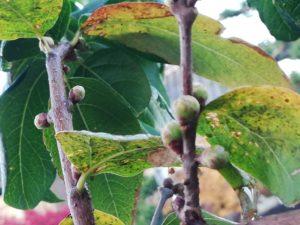 菊池将軍木の前の銀杏の落ち葉🍂城乃井旅館の蝋梅