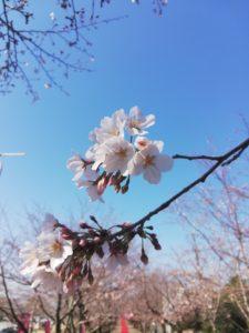 菊池公園の桜🌸パート1