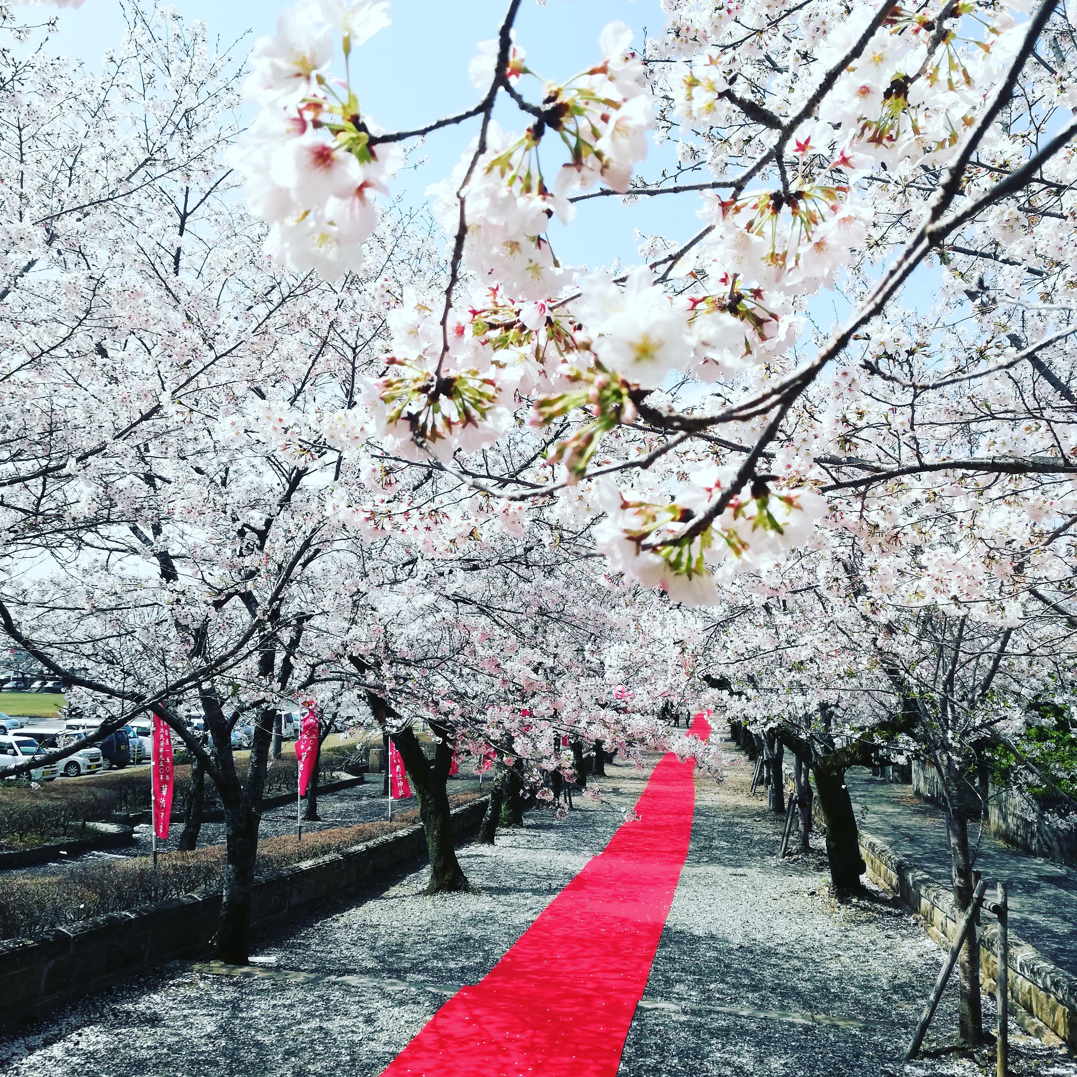 菊池公園の桜🌸 パート2
