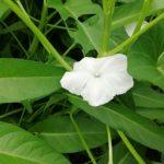 空芯菜の花🌼