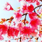 菊池温泉の緋寒桜🌸が見頃です😊