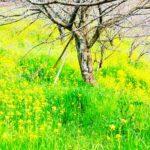 菊池温泉♨️城乃井旅館、開花宣言🌸
