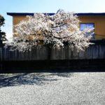 旅館の桜🌸が満開です