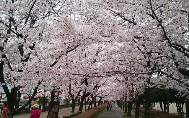 菊池神社・菊池公園の桜